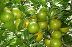 Đếm tiền mỏi tay nhờ trồng quýt đường