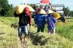 Đà Nẵng: Nông dân trúng mùa lúa hữu cơ