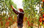Đã mắt ngắm vườn cà chua sai trĩu quả trồng theo công nghệ Israel