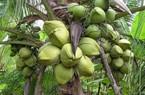 10.000 đồng/quả dừa, nông dân thu nhập cao hơn cả công chức