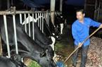 Bán đàn heo 300 con để chỉ huy 30 con bò sữa trị giá 1,5 tỷ đồng