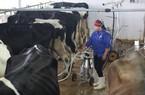 LẠ MÀ HAY: Cho bò nghe nhạc, vắt được nhiều sữa hơn