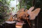 Quảng Nam: Hiếm gỗ nhập khẩu, đành phải... phá rừng (?)