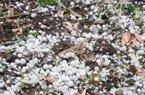 Nước mắt người trồng mận hòa với mưa đá lạnh buốt đất Mộc Châu