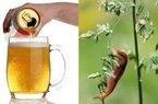 Chuyện thật như đùa: Nông dân diệt ốc sên bằng... bia?