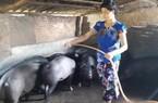 Mẹo nuôi lợn không lỗ, lãi đều cả khi rớt giá: Cho ăn bỗng rượu