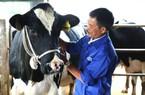 """Nuôi bò sữa, đất cao nguyên Mộc Châu """"đẻ"""" 600 triệu phú"""