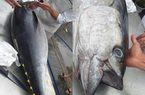 Cá ngừ đại dương đi máy bay từ Phú Yên ra Bắc Ninh