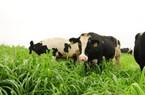 Việt Nam sẽ thành cường quốc chăn nuôi bò sữa với nửa triệu con
