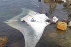 """Ngư dân Lý Sơn bắt được cá đuối """"khủng"""" nhất từ trước tới nay"""