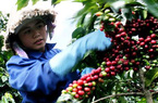Lâm Đồng: Cho nông dân vay 3.200 tỷ đồng cải tạo vườn cà phê
