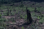 Ngang nhiên rao bán rừng phòng hộ