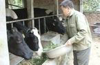 Làm giàu từ bò sữa