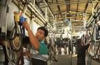 Nhân rộng mô hình  nuôi bò sữa công  nghệ Israel