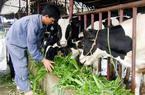Lâm Đồng: Một thôn có hơn 50% số hộ nuôi bò sữa