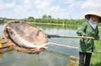 Cá nuôi chết nổi trắng ao, nông dân mất tiền tỷ