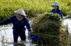 Báo động tình trạng gạoViệt lép vế tại thị trường truyền thống