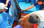Tổ chức lại chuỗi giá trị cá ngừ VN: Ngư dân vẫn phải tự mày mò