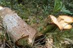 Quảng Nam: Công bố kết luận điều tra vụ phá rừng pơ mu