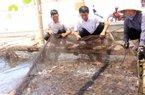 Cá bớp được nuôi sạch như thế nào?