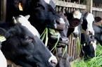 """2 ngày """"khai sáng"""" chăn nuôi bò sữa"""