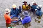 10 năm rồi, nông dân Bình Định mới trúng vụ tôm lớn như vậy!