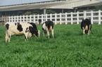 Trả lại đúng tên gọi của sữa: Chờ đợi hóa giải nghịch lý ngành sữa