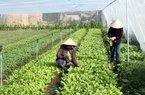 Chỉ với 4.500m2 trồng rau sạch, mỗi ngày lãi 2 triệu đồng