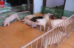 Chuyện đưa lợn lên nhà, người xuống kho ở: Đôi bên cùng sai!