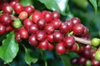 Giá nông sản hôm nay 16/7: Cà phê giảm đỏ sàn, giá tiêu tiếp tục ảm đạm