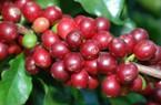 Giá nông sản hôm nay 19/7: Giá cà phê tiếp tục giảm nhẹ, giá tiêu không biến động