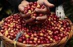 Giá nông sản hôm nay 20/7: Giá cà phê đảo chiều tăng trên mốc 35.000 đồng/kg, giá tiêu đi ngang