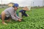 Cả làng sống khoẻ re nhờ trồng loài rau mọc hoang thủa nào