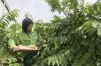 Phát sốt: Trồng na dứa Đài Loan, ra trái 2 vụ/năm, bán 500 ngàn/kg