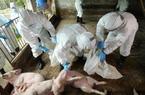 Hà Nội thiệt hại 1.000 tỉ đồng do dịch tả lợn, nhiều huyện hết ngân sách dự phòng