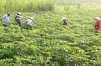 Bệnh khảm lá gây hại khắp nơi, Tây Ninh vẫn quyết duy trì trồng sắn