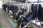 Nuôi bò bò sữa ở Mộc Châu chuồng trại sạch, bò khỏe, sữa nhiều