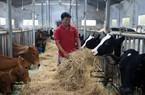 Lâm Đồng: Nuôi loài bò Tây đẹp như tranh vẽ, lãi mỗi năm hơn 1 tỷ