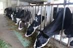 Mộc Châu: Vùng đất ôn hòa tươi đẹp, nổi danh nghề nuôi bò sữa