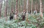 Trồng rừng gỗ lớn đầu ra rộng mở, lợi nhuận gấp 1,5 lần rừng gỗ nhỏ