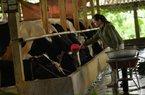 """Làm giàu ở nông thôn: Nuôi bò đỏm dáng, """"bỏ túi"""" 100 triệu/tháng"""