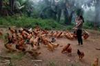 Thoát nghèo vươn lên khá giả nhờ vay vốn nuôi gà thả đồi