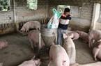 Giá heo hơi tăng nhanh, người chăn nuôi mừng vui vì có lãi