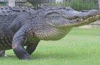 Thấy cá sấu đi dạo trước mặt, golf thủ vẫn thản nhiên đánh bóng