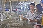 Nuôi lợn lỗ chỏng gọng, chuyển nuôi thỏ Nhật, lãi 50 triệu/tháng