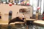 Xót xa cá heo con 9 ngày tuổi chết khi đang biểu diễn vì kiệt sức