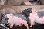 """Quảng Ninh bế tắc đưa lợn đặc sản Móng Cái """"trốn"""" dịch tả châu Phi"""
