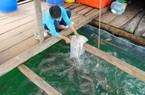 Kiên Giang: Nuôi đủ thứ cá đặc sản to bự dưới biển, dân khá giàu