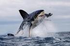 Sợ bị cường địch moi gan, hàng trăm cá mập trắng biến mất khỏi vùng biển ưa thích