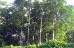 Còn 8 tỉnh cho nước ngoài thuê gần 20.000ha đất rừng